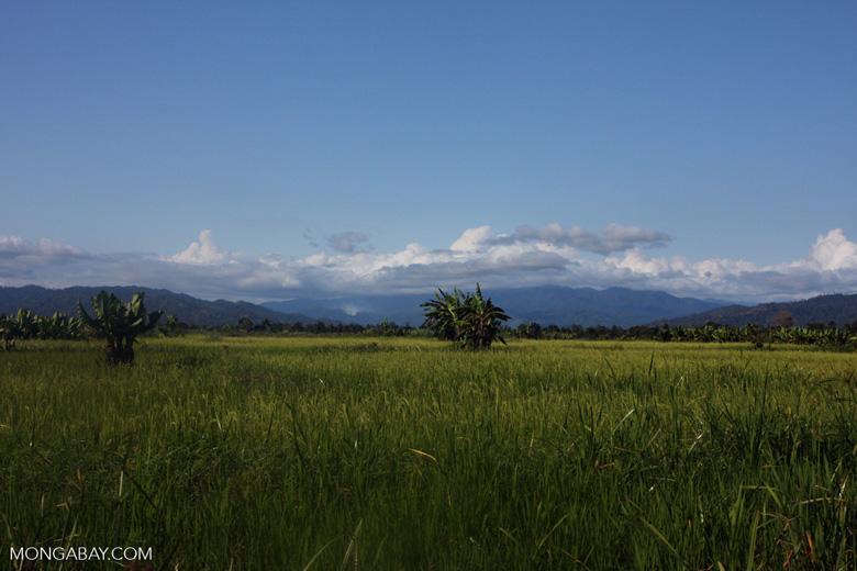 Rice and elephant-ear plants [mcar_0092]