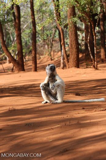 Verreaux's Sifaka sitting