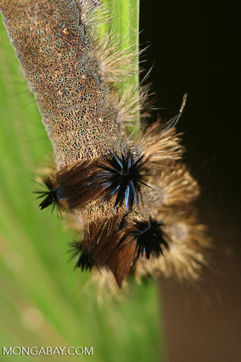 Caterpillar with blue and black spines