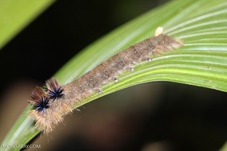 Caterpillar with blue and black spines [mcar_0186]