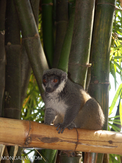 Mongoose lemur [mcar_n_0063]