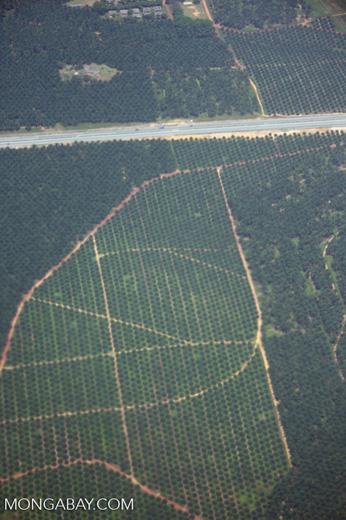 Overhead view of an oil palm plantation near Kuala Lumpur