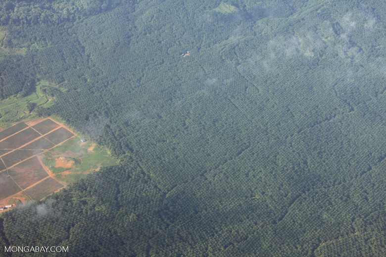 Aerial view of an oil palm plantation in Borneo