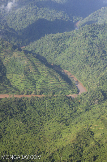 Terraced oil palm plantations