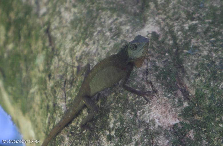 Bornean Forest Dragon ( Gonocephalus bornensis )