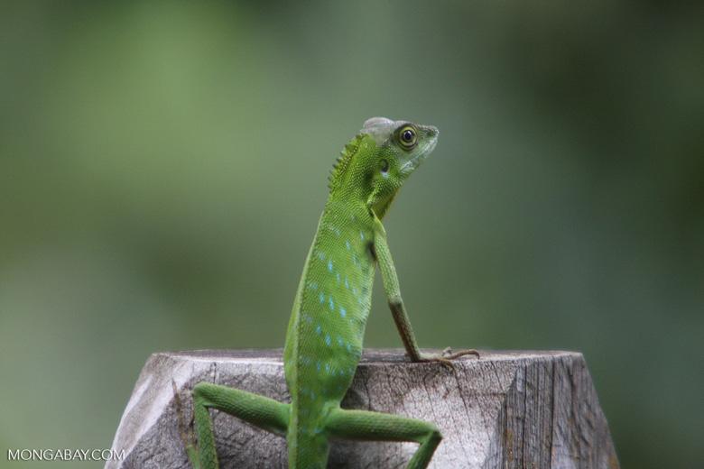 Agamid Lizard ( Bronchocela cristatella ) -- borneo_3067