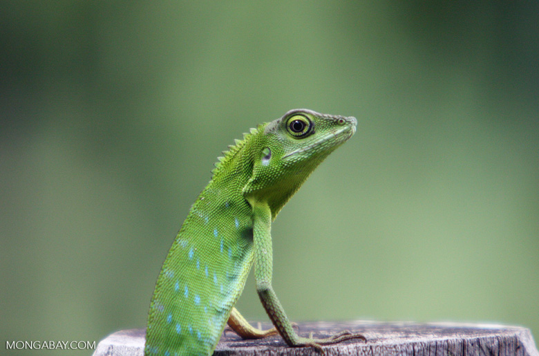 Agamid Lizard ( Bronchocela cristatella )