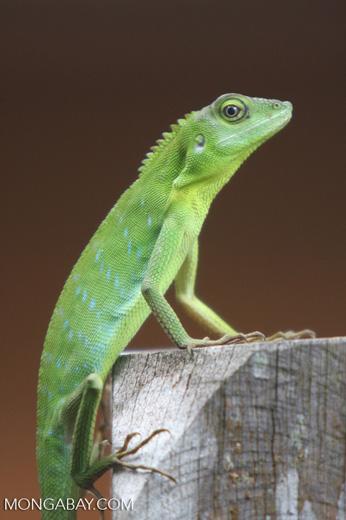 Agamid Lizard ( Bronchocela cristatella ) -- borneo_3093