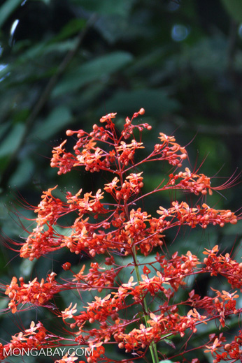 Red orange flowers -- borneo_3102