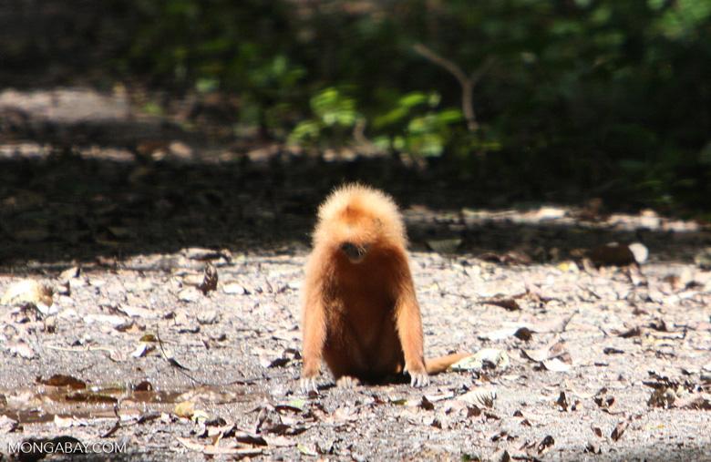 Red Leaf-monkey (Presbytis rubicunda) -- borneo_3113a