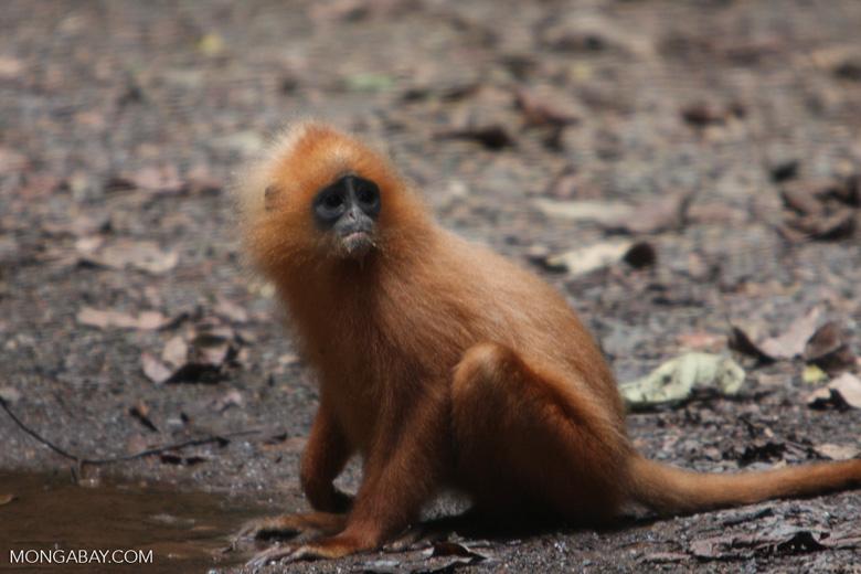 Red Leaf-monkey (Presbytis rubicunda) -- borneo_3141
