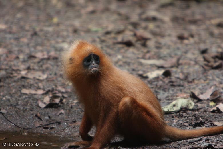 Red Leaf-monkey (Presbytis rubicunda) -- borneo_3142