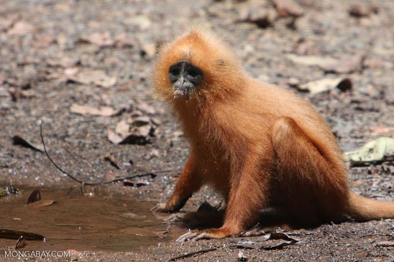 Red Leaf-monkey (Presbytis rubicunda) -- borneo_3154