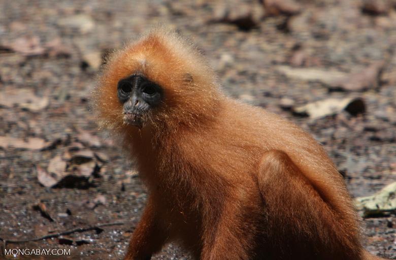 Red Leaf-monkey (Presbytis rubicunda) -- borneo_3155