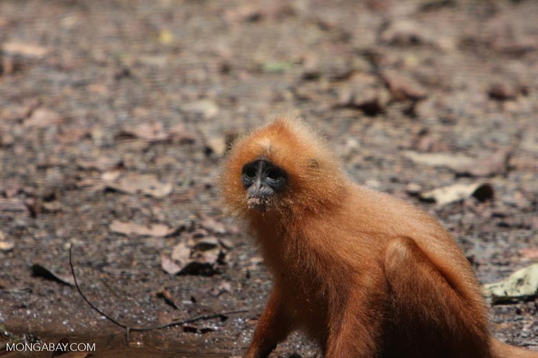 Red Leaf-monkey (Presbytis rubicunda) -- borneo_3156