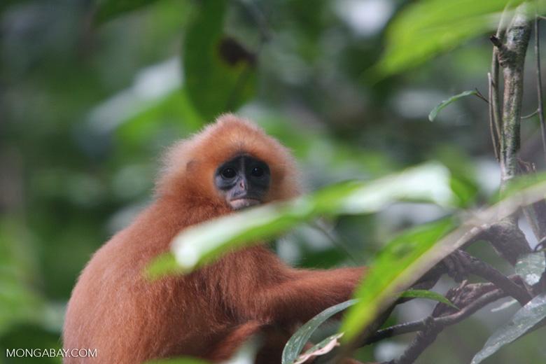 Red Leaf-monkey (Presbytis rubicunda) -- borneo_3169