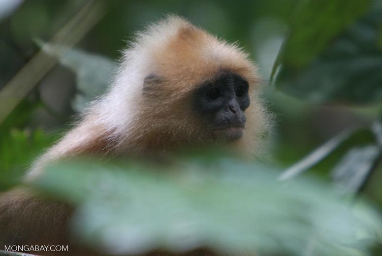 Red Leaf-monkey (Presbytis rubicunda) -- borneo_3178