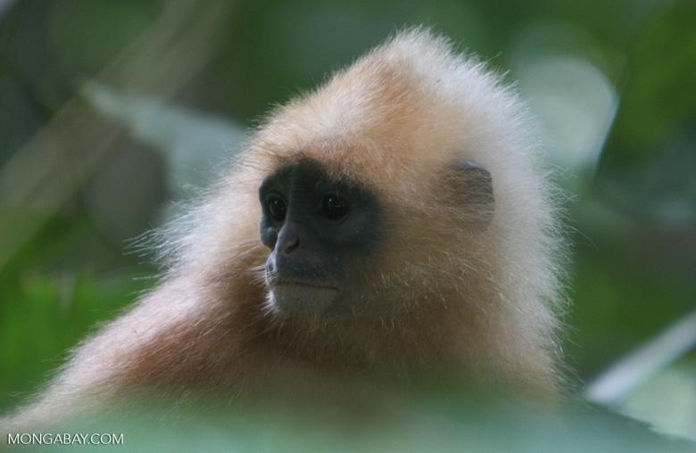 Red Leaf-monkey (Presbytis rubicunda) -- borneo_3185