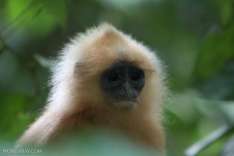Red Leaf-monkey (Presbytis rubicunda) -- borneo_3203