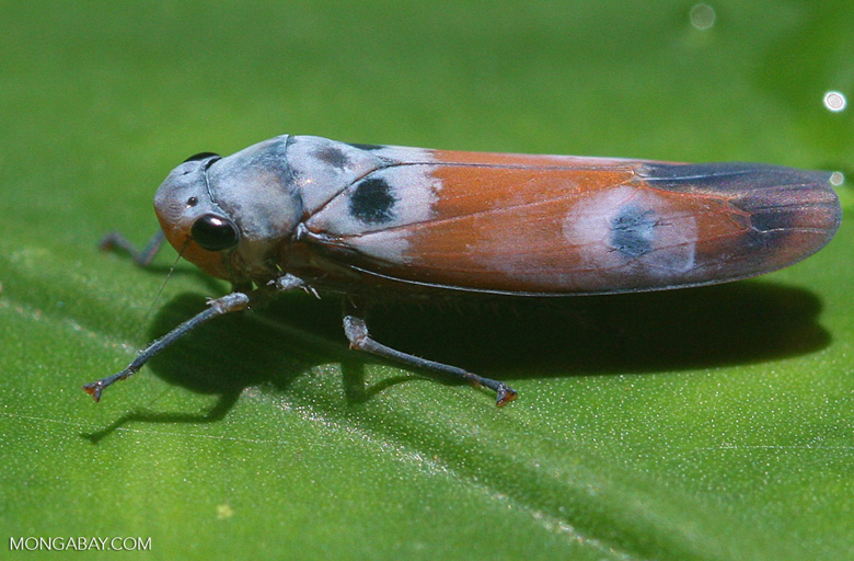 Elongated blue and orange insect -- borneo_3356
