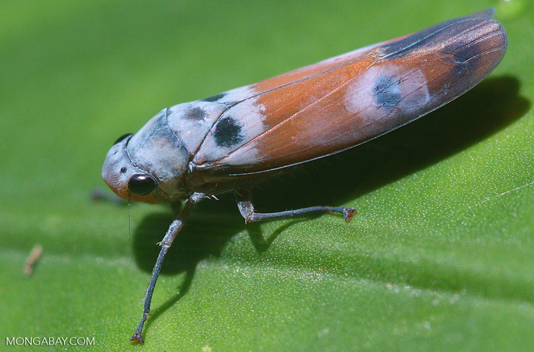 Elongated blue and orange insect
