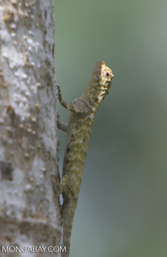 Common Flying Lizard, Draco volans