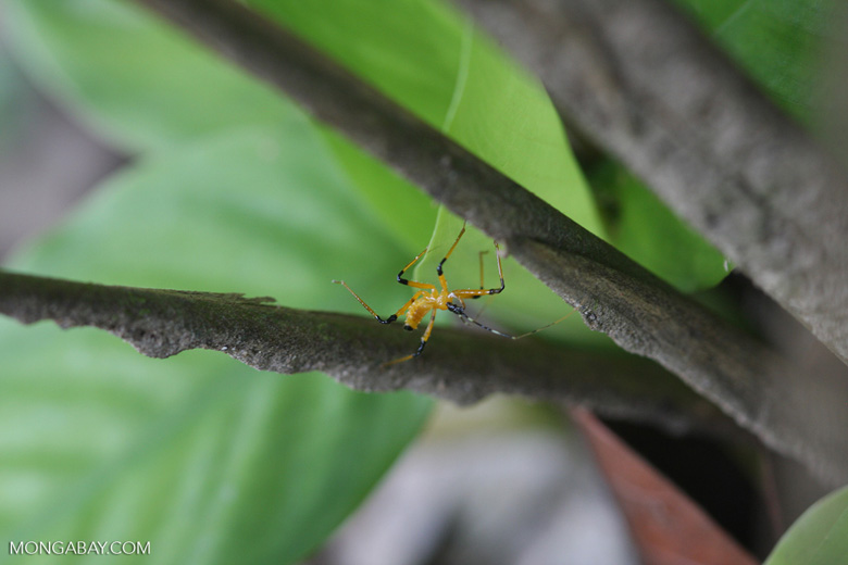 Yellow and black insect -- borneo_3386