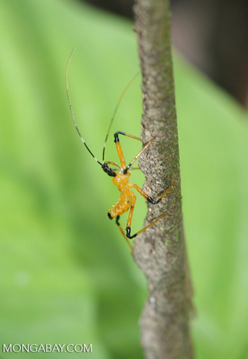 Yellow and black insect -- borneo_3399