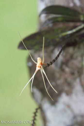 Off-white orchid with orange spots -- borneo_3400