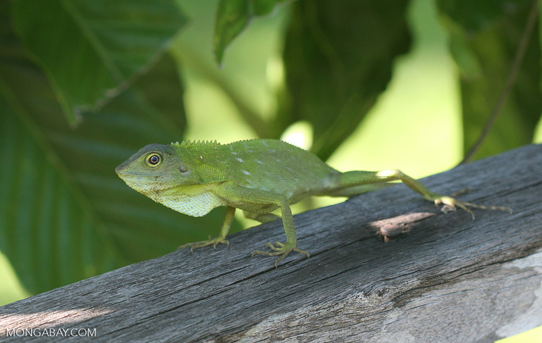 Green Crested Lizard ( Bronchocela cristatella ) -- borneo_3416