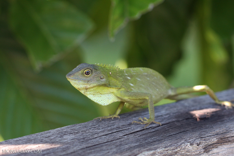 Green Crested Lizard ( Bronchocela cristatella ) -- borneo_3419