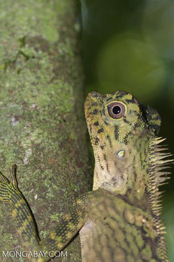 Crested forest lizard, Gonocephalus liogaster