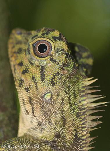 Comb crested forest lizard, Gonocephalus liogaster