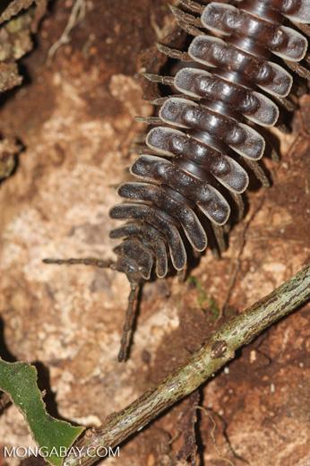 Tractor millipede -- borneo_3450