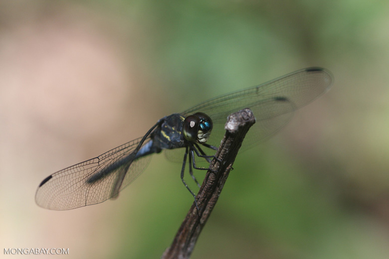 Blue-gray dragonfly -- borneo_3462