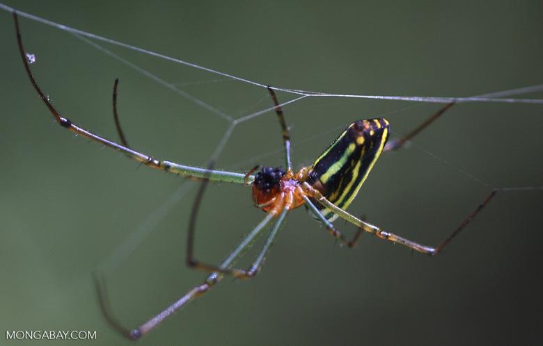 Multi-colored spider -- borneo_3474a