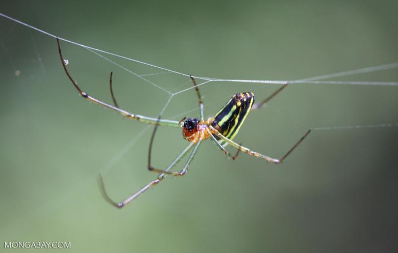 Multi-colored spider -- borneo_3475