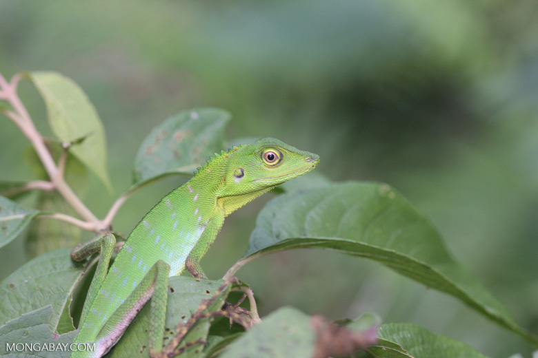 Green Crested Lizard high in the rainforest canopy -- borneo_3507