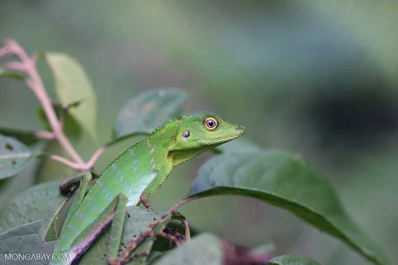 Green Crested Lizard high in the rainforest canopy -- borneo_3511