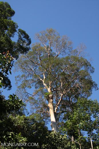 Canopy tree with white bark -- borneo_3523