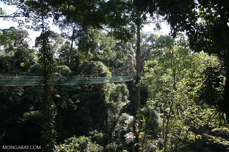 Danum Valley canopy walkway -- borneo_3548