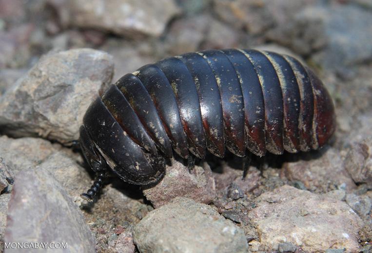 Pill millipede (Glomeris connexa)