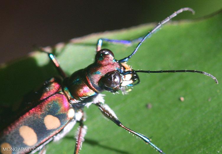 Spotted tiger beetle (Cicindela aurulenta)
