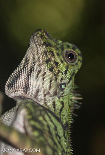 Crested forest dragon, Gonocephalus liogaster -- borneo_3675