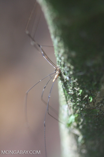 Long-legged spider -- borneo_3792