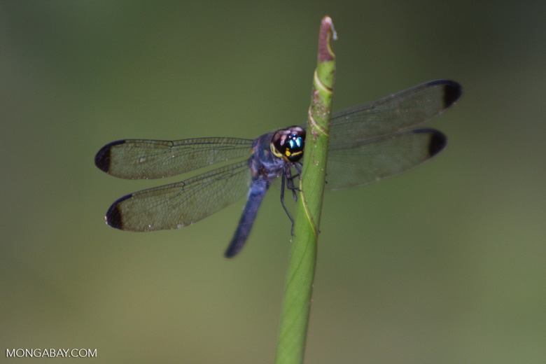 Blue dragonfly -- borneo_3893