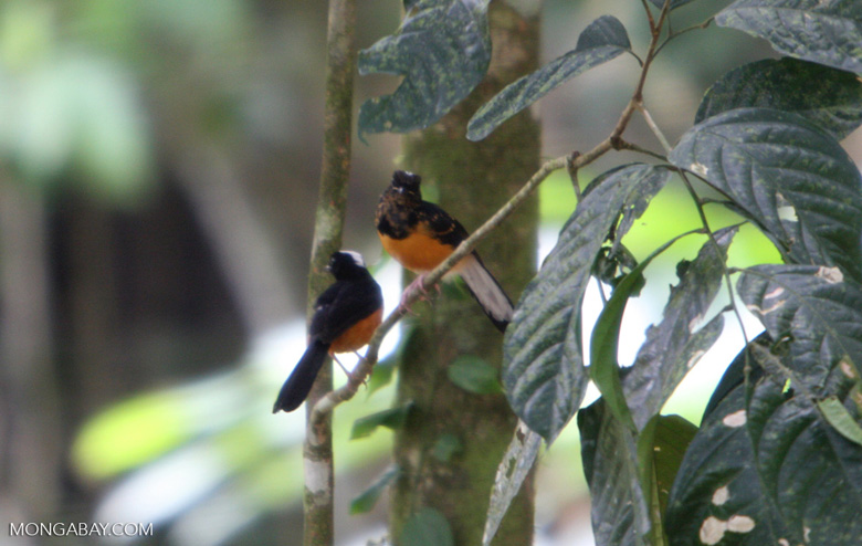 Bird with white head, black wings, and an orange chest -- borneo_3918