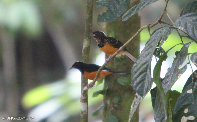 Bird with white head, black wings, and an orange chest -- borneo_3922