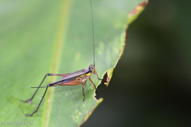 Black and yellow grasshopper -- borneo_4059
