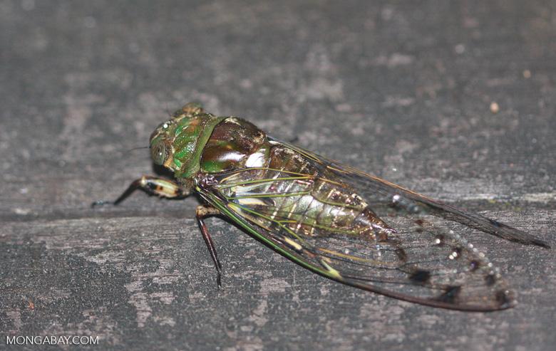 Green and brown cicada -- borneo_4065